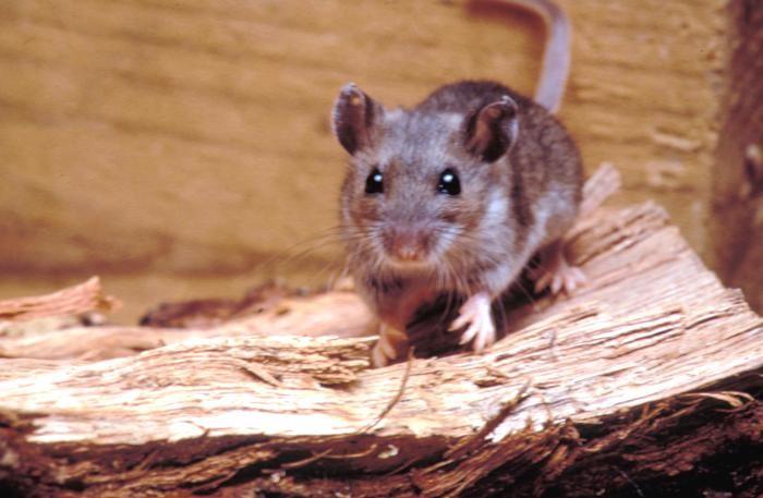 A deer mice