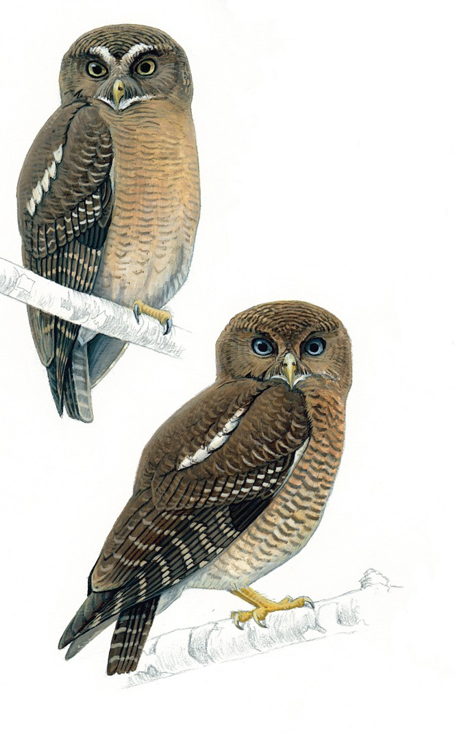 Two New Owl Species Discovered