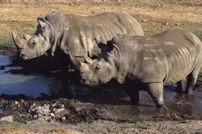 White rhinoceroses under threat for their horn