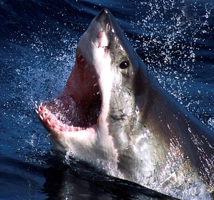 withe shark