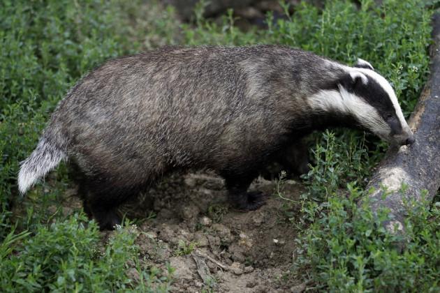 UK badger cull
