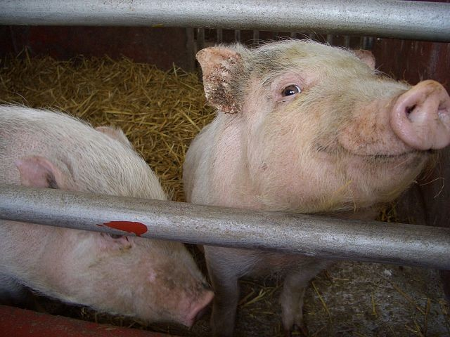 Oregon farmer eaten by his own pigs
