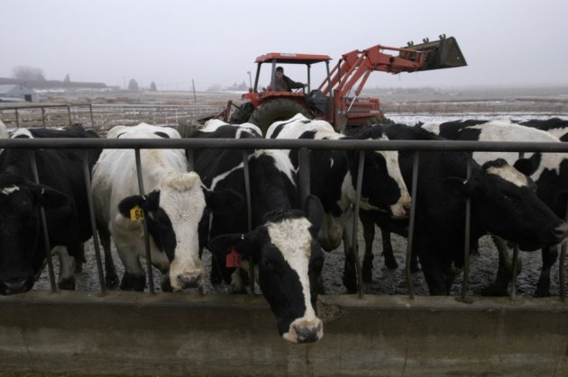Cow created to produce hypo-allergenic milk