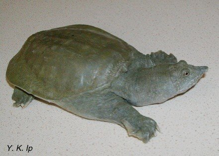 Chinese Soft Shelled Turtle