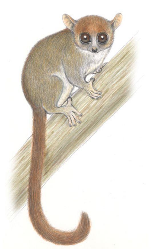 Madame Berthe's Mouse Lemur (Microcebus berthae) Madagascar (Photo: Conservation International Stephen Nash)