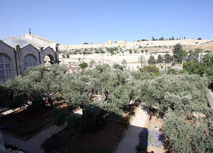 Olive trees at Garden of Gethsemane in Jerusalem