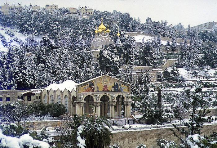 ... Olive Trees At Garden Of Gethsemane In Jerusalem