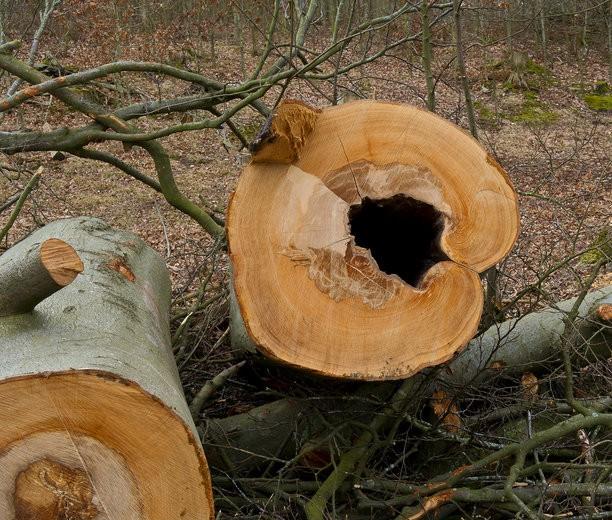 Ash trees in Denmark killed