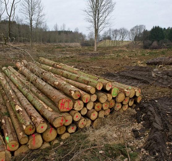 Ash trees killed in Denmark