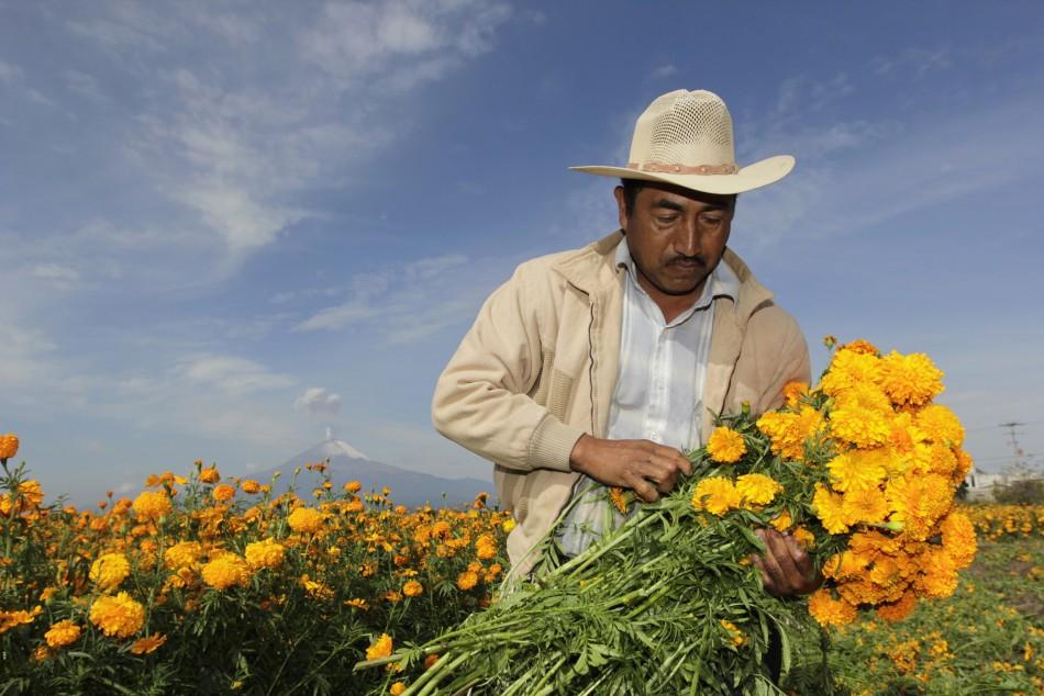 Cempasuchil marigolds