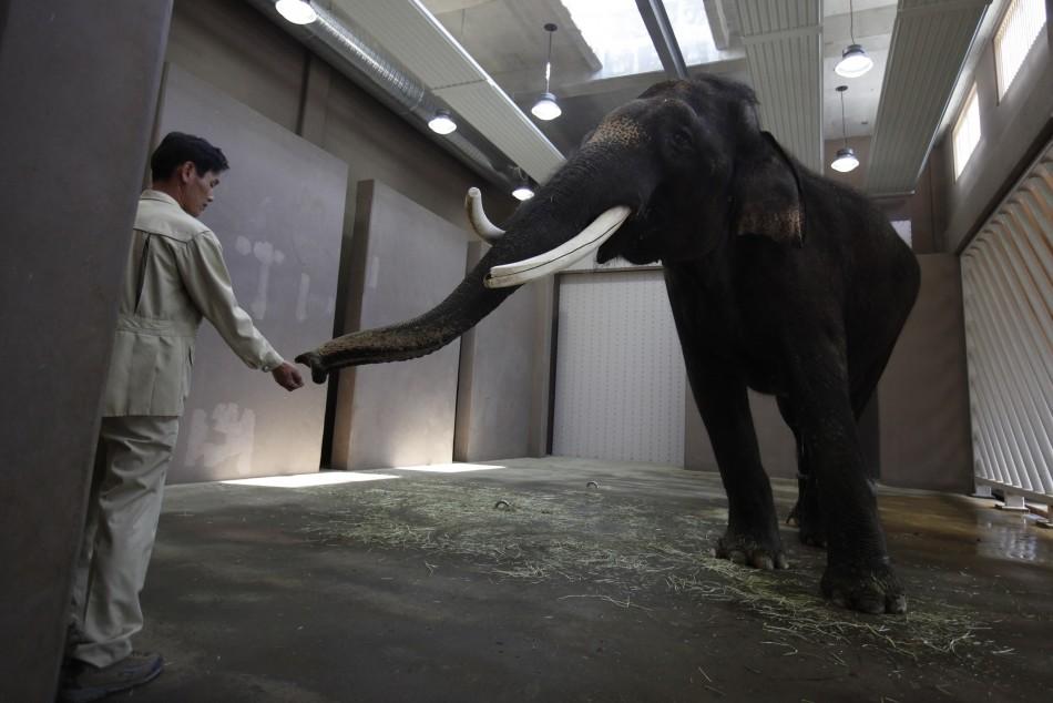 Koshik the speaking elephant