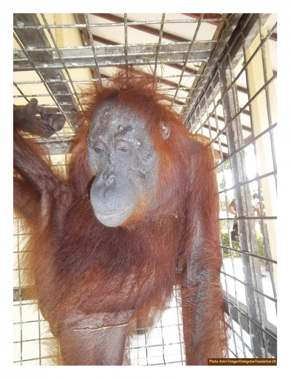 Aan the orangutan