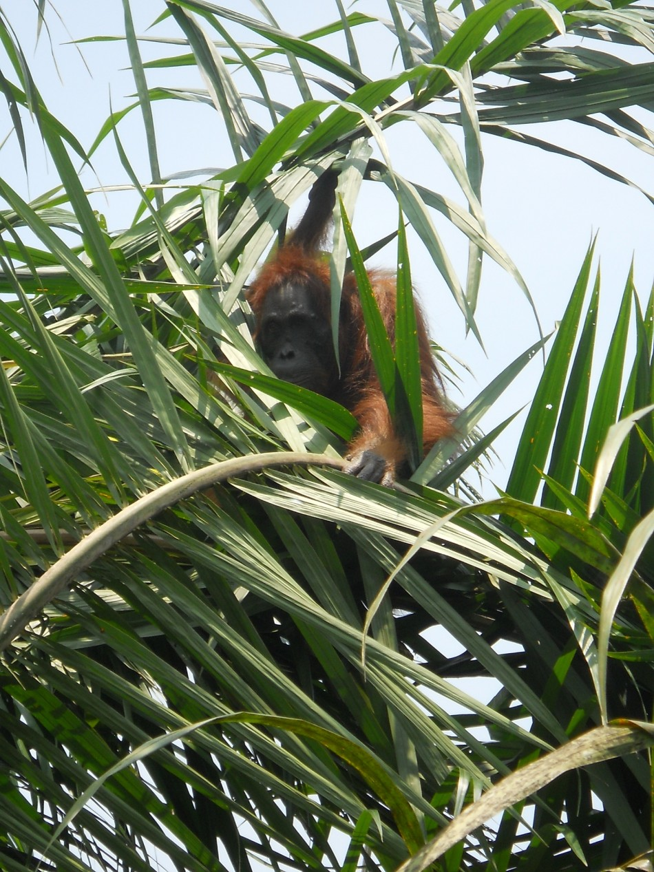 Aan the orangutan