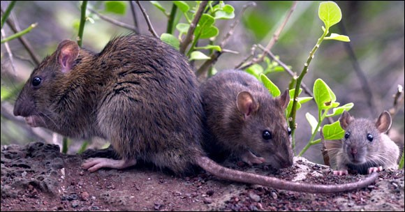Invasive species of rats on Galapagos Islands (Photo: Galapagos National Park)