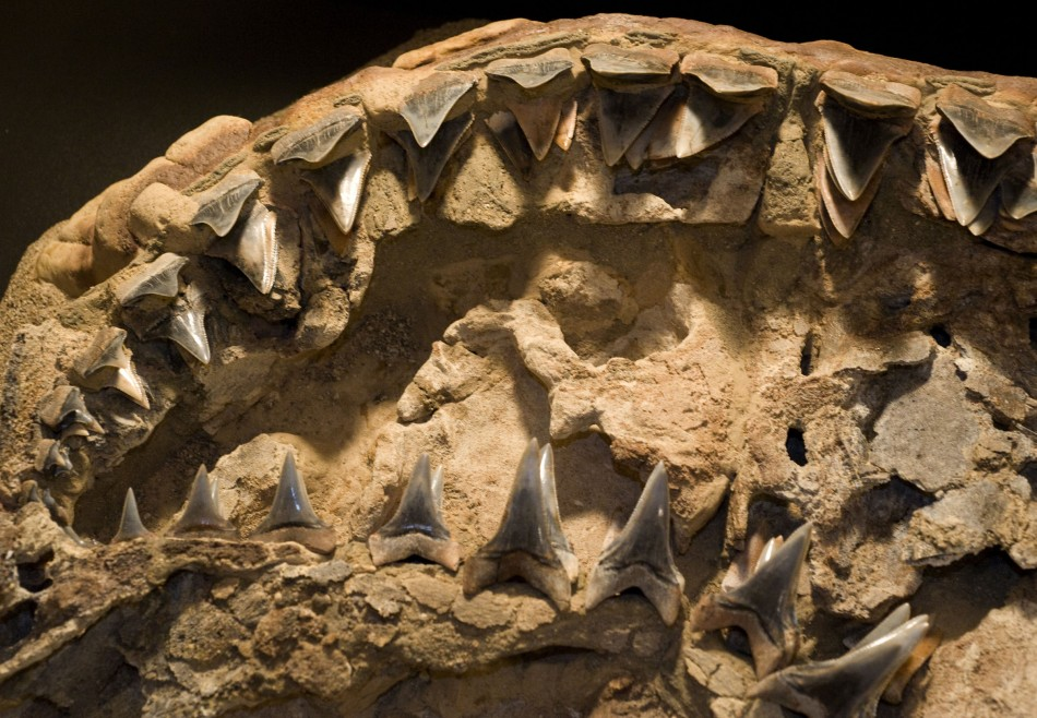 Fossil of 4.5-million-year-old white shark