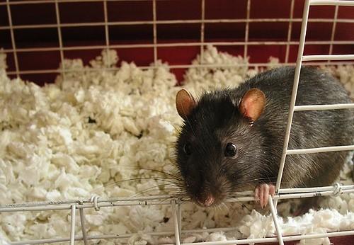 Rats Free Companions