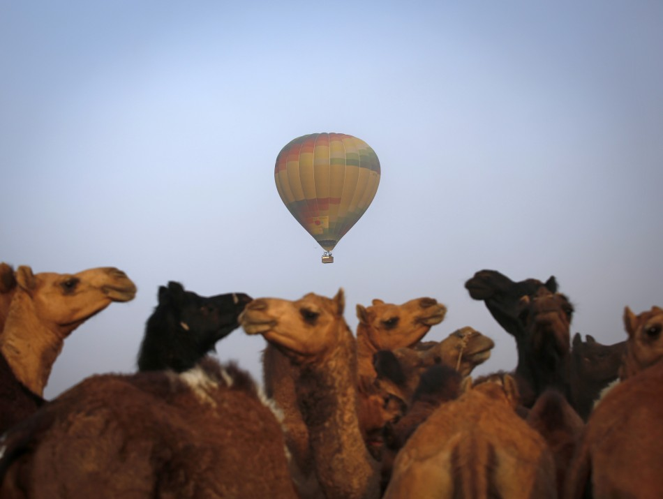 A hot air balloon carrying tourists flies over camels for sale at Pushkar Fair in the desert Indian state of Rajasthan