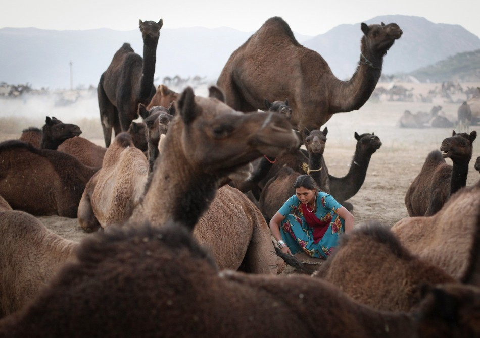A woman sits among camels as she collects material to make a bonfire at Pushkar Fair in the desert Indian state of Rajasthan