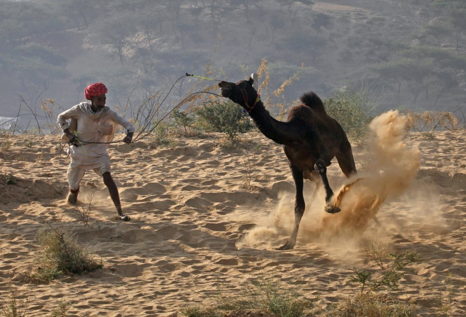 A camel herder attempts to control one of his camels at Pushkar Fair in the desert Indian state of Rajasthan
