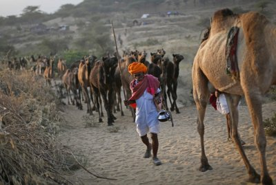 A camel herder walks his camels at Pushkar Fair in the desert Indian state of Rajasthan