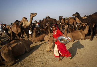 A woman carrying a metal container walks past camel herders waiting for customers at Pushkar Fair in the desert Indian state of Rajasthan