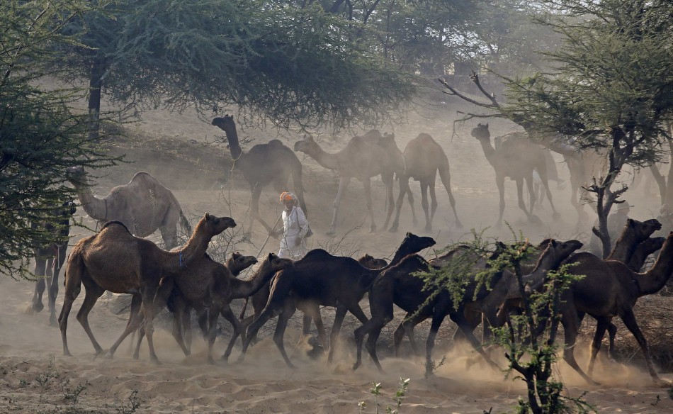 Camels run as they arrive with their herders at the Pushkar Fair in the desert Indian state of Rajasthan