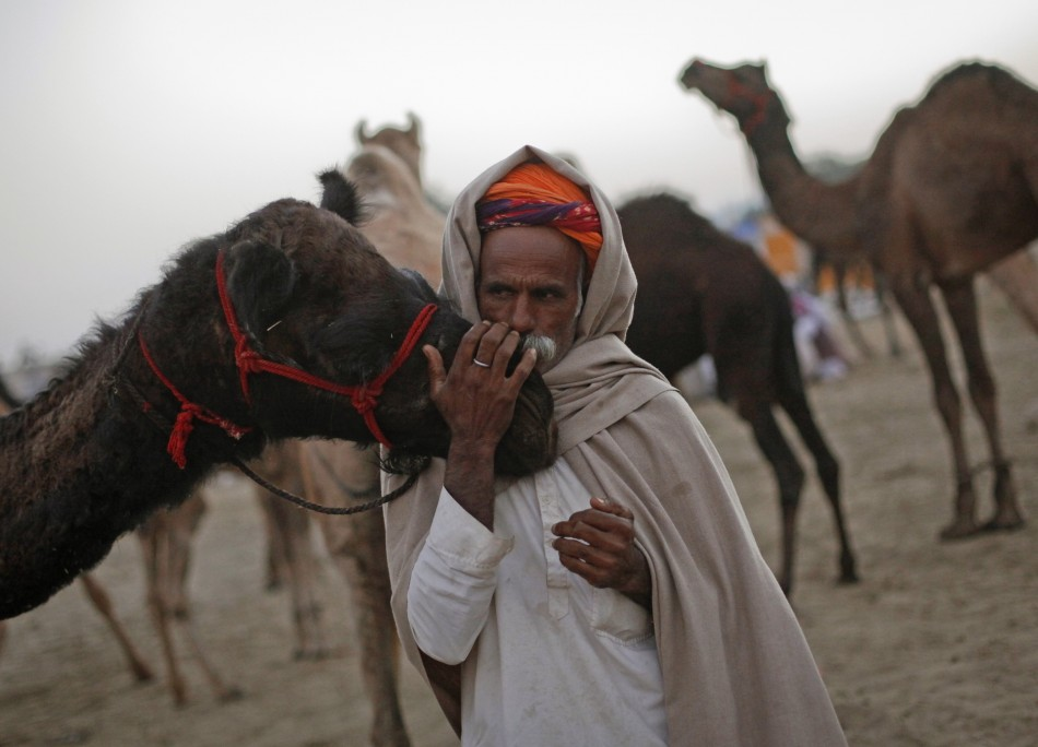 A camel herder kisses the nose of one of his camels as he waits for customers at Pushkar Fair in the desert Indian state of Rajasthan