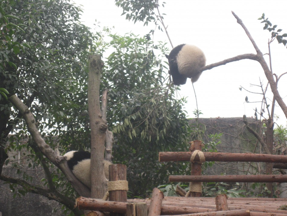 Pandas Suspended in Mid-Air