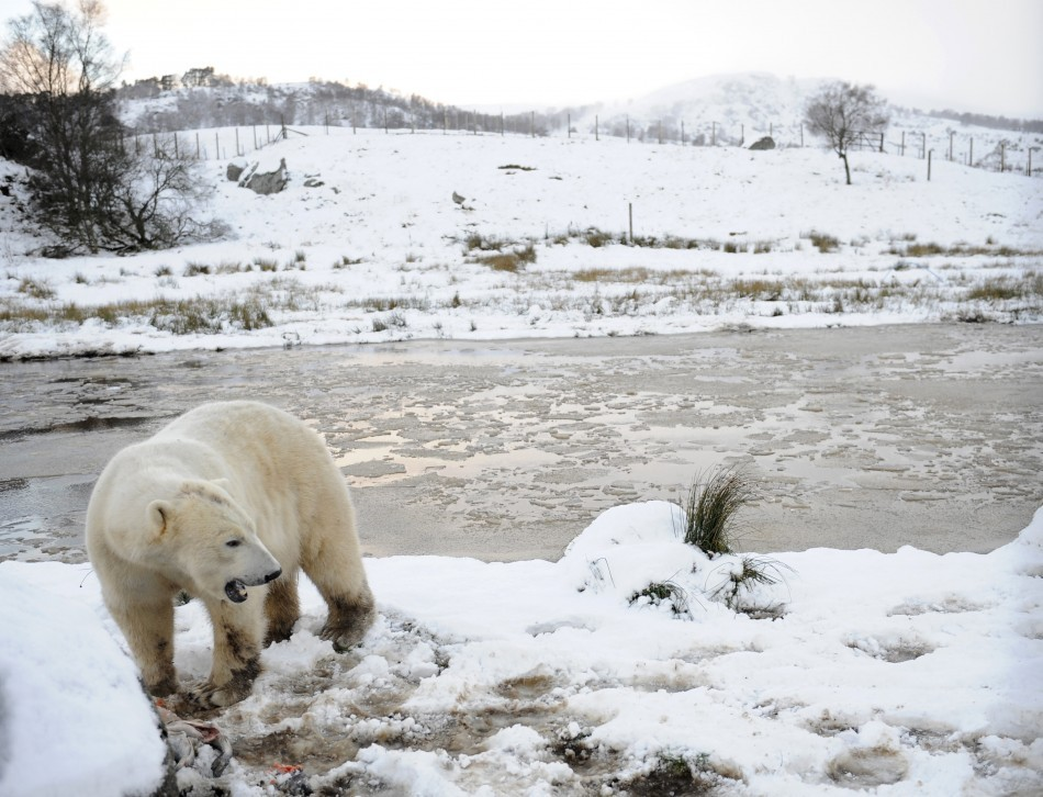 Here for the weather: Polar bear at Highland Wildlife Park in Kincraig, Scotland
