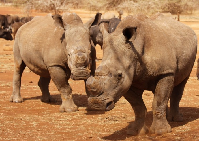 Two dehorned rhinos