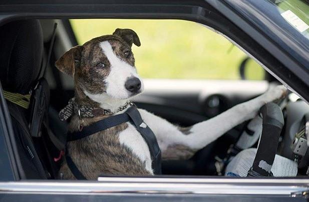 Dog Driving