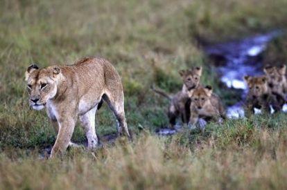 Lioness Africa 2012 2
