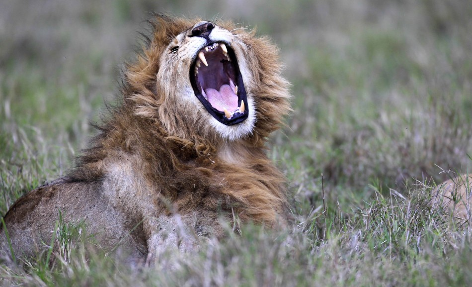 Lion population in Africa has fallen from 100,000 to 32,000 in 50 years (Reuters)