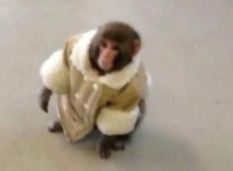 Darwin the Ikea monkey