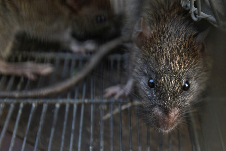 The 'super rats' have become resistant to normal strength poisons (Reuters)