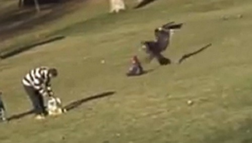 Eagle snatches toddler