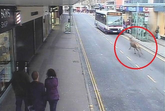 On the run: Deer in town