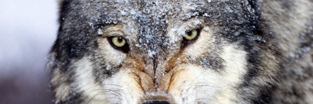 Wolf attacks on reindeer have cost the Russian state more than £3m