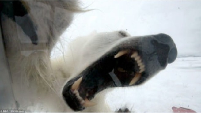 Viral Video: Polar Bear Attacks Wildlife Cameraman (Image from BBC footage)
