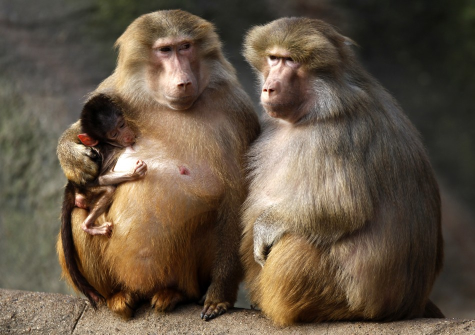 Stem Cell Surgeons Restore Severely Damaged Baboon Artery