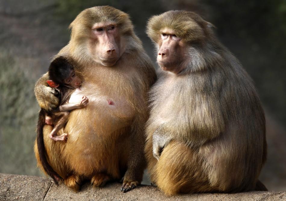 Baboons