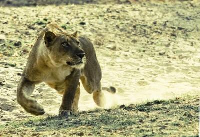A Zambian Lion