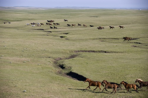 Wild horses roam freely on a ranch near Ft. Pierre, SD. Location:	Ft. Pierre, Dakota.