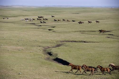 Wild horses roam freely on a ranch near Ft. Pierre, SD. Location:Ft. Pierre, Dakota.