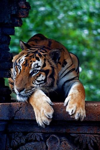 The Tiger Panthera tigris