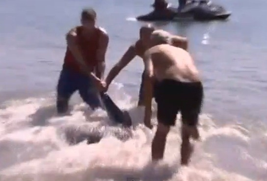 Trio grapple wrestle shark