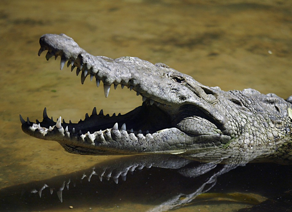 Around half of the crocodiles are still on the loose after escaping from the South African farm (Reuters)