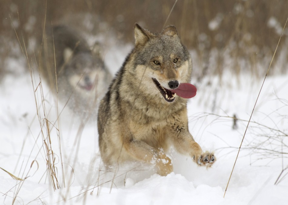 Wolves made leap to dogs by feasting on rubbish