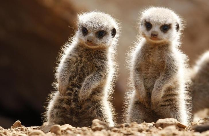 The life of meerkats, as never seen before in ultra-high definition 4K video