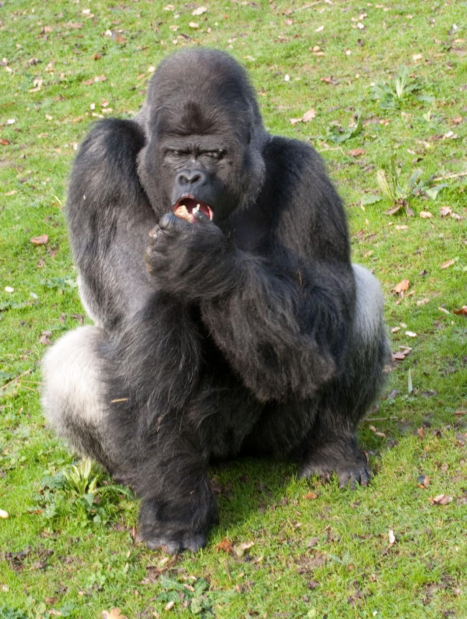 Silverback gorilla Djala